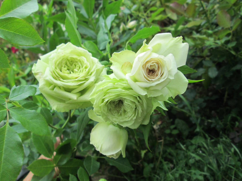 Роза супер грин фото 6