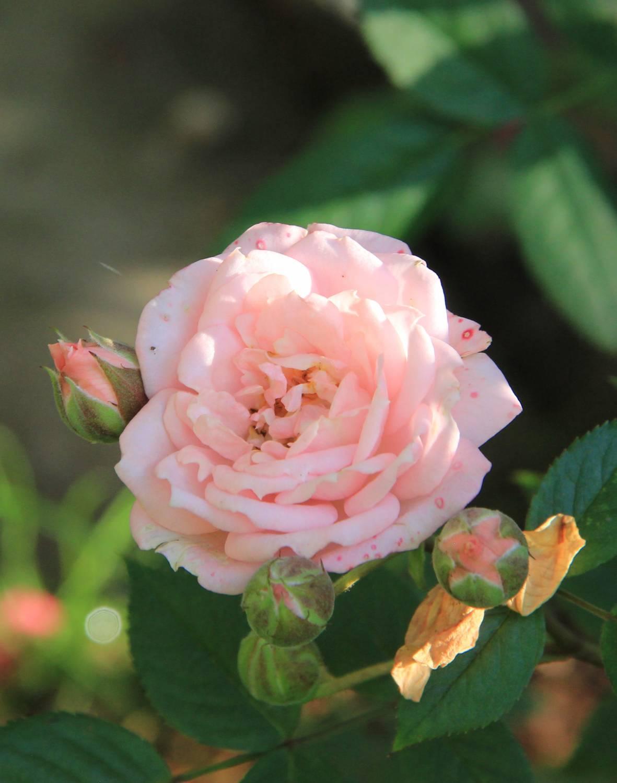 Роза медальон фото 3