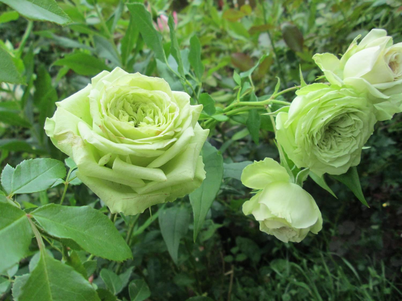 Роза супер грин фото 5